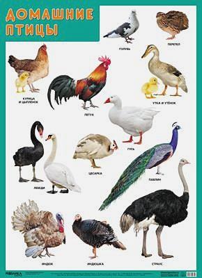 Нафиков Р. М. - Развивающие плакаты. Домашние птицы обложка книги